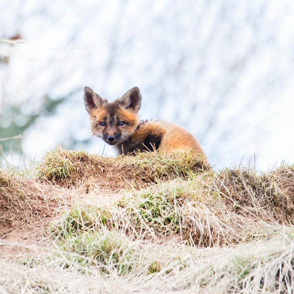 Baby Fox | Colorado | Janie Viehman Photography